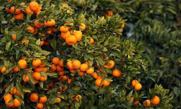 Jeju to Implement 5-Year Plan to Enhance Tangerine Farming