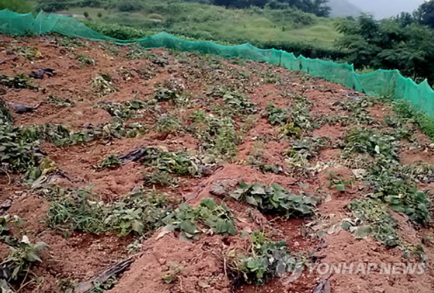 A sweet potato field torn up by wild boars