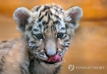 China Succeeds in Breeding 70 Siberian Tiger Cubs