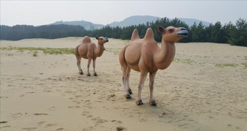"Camels at Korean Version of ""Sahara Desert"""