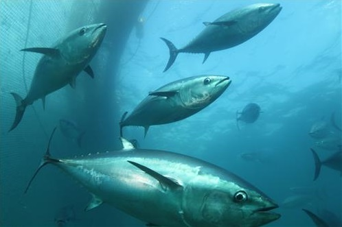 Dream of Farming Bluefin Tuna Almost Realized with Successful Egg Harvest