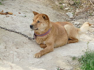 Korean Jindo-0