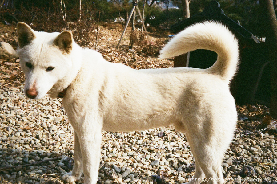 The Jindo breed became recognized by the United Kennel Club on January 1, 1998 and by the Fédération Cynologique Internationale in 2005. (image courtesy of Mirye.j/flickr)