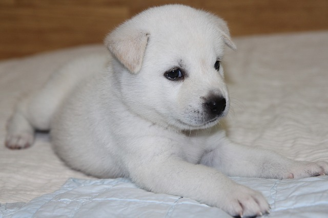 The Korean Jindo Dog is a breed of hunting dog known to have originated on Jindo Island in South Korea. (image courtesy of Pixabay)