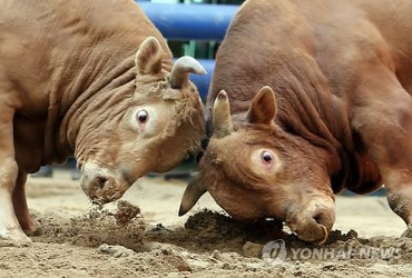 Wanju Cow-Fighting Competition Coming on September 11