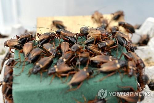 Cricket farm in Jeongseon. (Image : Yonhap)