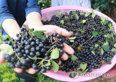 After Garlic, Danyang Rising as a New Aronia Growing District