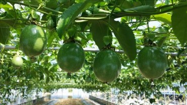 Passion to Raise New Crops Leads to Success in Cultivating Passion Fruit