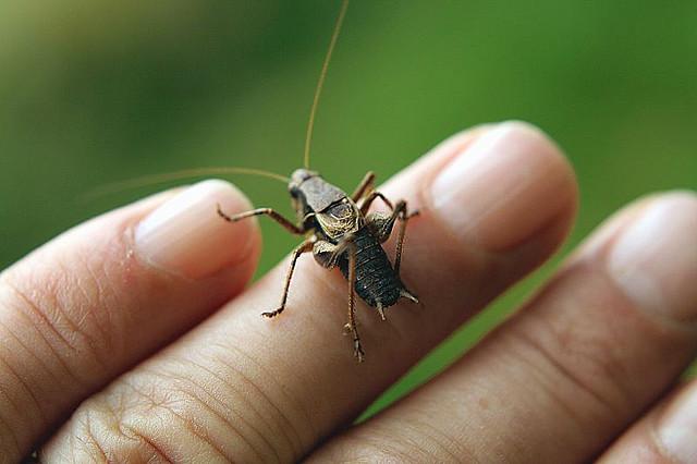 Cricket. (Image : Mark Robinson / Flickr)