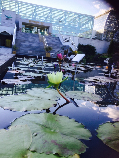 1water lily