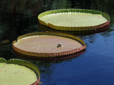 Tropical Garden on Water: Water Lily Paradise
