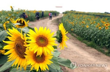 Rows and Rows of Yellow Sunflowers Brighten Ham-an