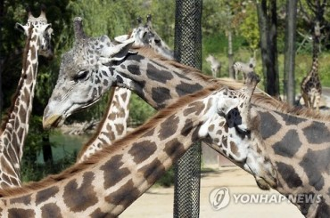 Silver Anniversary at Everland: Giraffes Celebrate 25 Years Together
