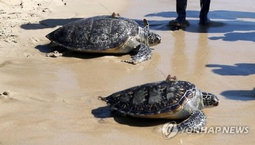 Going Home: Turtles Return to Sea after Rehabilitation