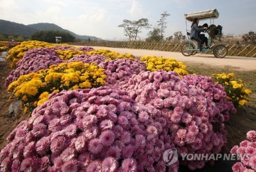 Officially Autumn: Chrysanthemums Blossom at Taehwa River Park