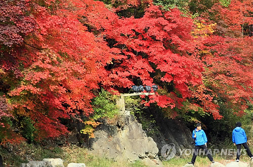 Though the area is small, the colors of the crimson maple leaves are deep and strong.