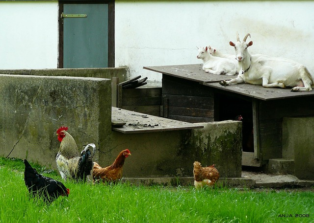 Free-range Chickens not so Free After All