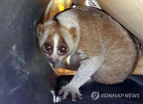 A slow loris, an internationally endangered monkey species, was recently found at a market in Busan. (Image : Yonhap)