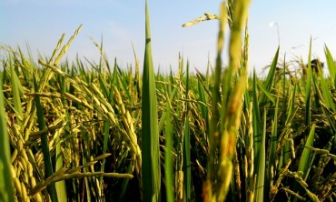 S. Korea's Rice Production Hits 6-year High in 2015