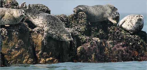 Measures are being taken to save spotted seals, the numbers of which are decreasing due to ocean pollution and global warming. (Image : Yonhap)
