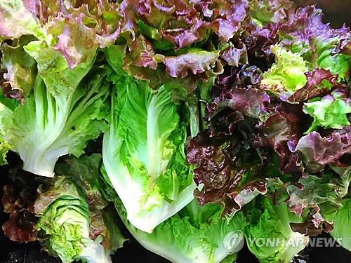 According to England's journals 'The Telegraph' and 'The Daily Mail', lettuce produces three times more greenhouse gases than bacon for the same amount of calories. (Image : Yonhap)
