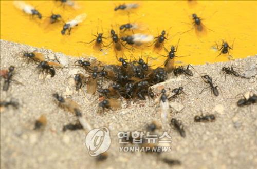 The colony can continue to exist as the 'slacking off ants' start working when all the other workers are too tired to continue their jobs. If all of a colony's ants worked hard, the community would fall apart when the workers were all worn out. (Image : Yonhap)