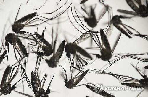 Mosquitoes have been cited for transmitting the Zika virus to humans. (Image : Yonhap)
