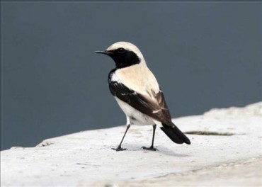 Rare Desert Bird Spotted on Gageo Island