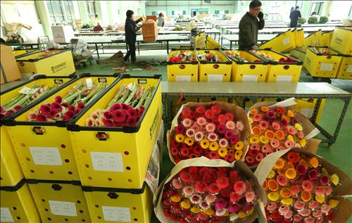 The local floricultural industry is facing a downturn despite the annual graduation season, industry sources said Thursday, due to increasing production costs and stagnant consumption. (Image : Yonhap)