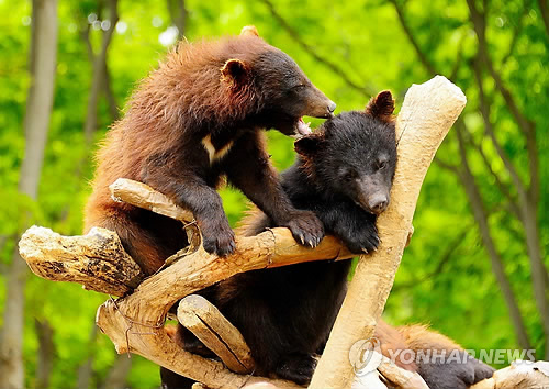 Bears at Beartree park in Sejong City. (Image : Yonhap)