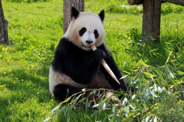 Two Bundles of Joy Arrive: Xi Jinping Gifts Panda Couple