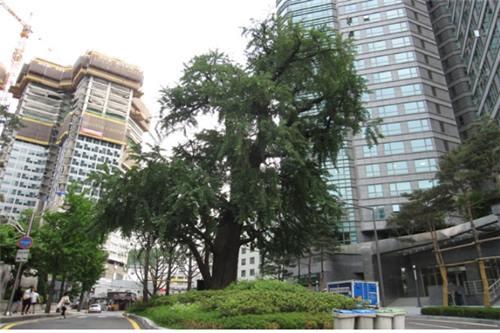475 year old Gingko tree in Jung-gu. (Image : Yonhap)