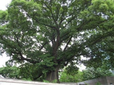 Old Trees Seen as Cultural Assets