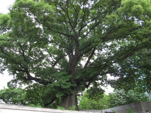 The 825 year old tree in Jeong-dong. (Image : Yonhap)