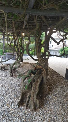900-year-old rattan at the prime minister's official residence. (Image : Yonhap)