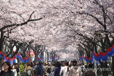 South Korean Cherry Blossom Festival Begins in Jeju