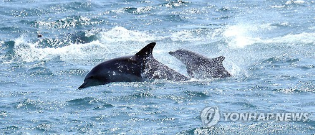 This undated photo shows an Indo-Pacific bottlenose dolphin, called Sampal, and her baby swimming together in waters off the South Korean island of Jeju, in this photo released by a team of South Korean researchers. (Yonhap)