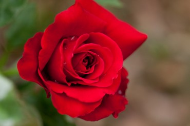 New Skin-Whitening Agent Discovered in Roses
