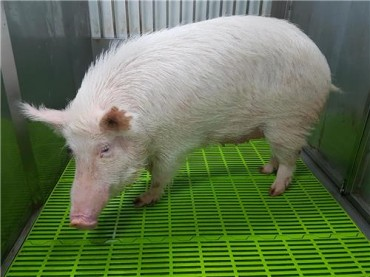 The First Research Pig with Dementia