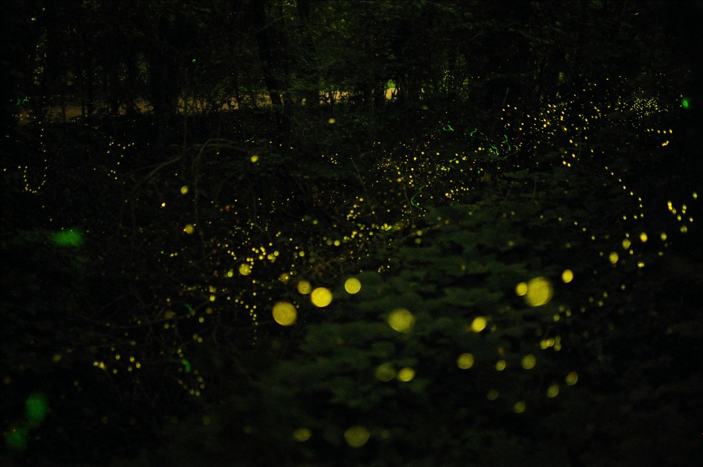 Scientists have long been researching ways to maximize luminous efficiency ever since discovering the light mechanisms of fireflies. (image: Uqbar is back/Flickr)
