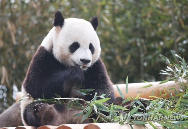 "Dubbed ""panda diplomacy,"" China has a tradition of sending pandas to foreign countries as a gesture of friendship. It is often a time-honored goodwill gesture by Beijing for fostering bilateral relations."