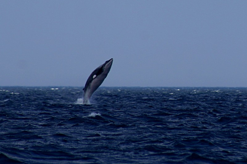 Why Do Large Mammals Such as Minke Whales Rarely Get Cancer?