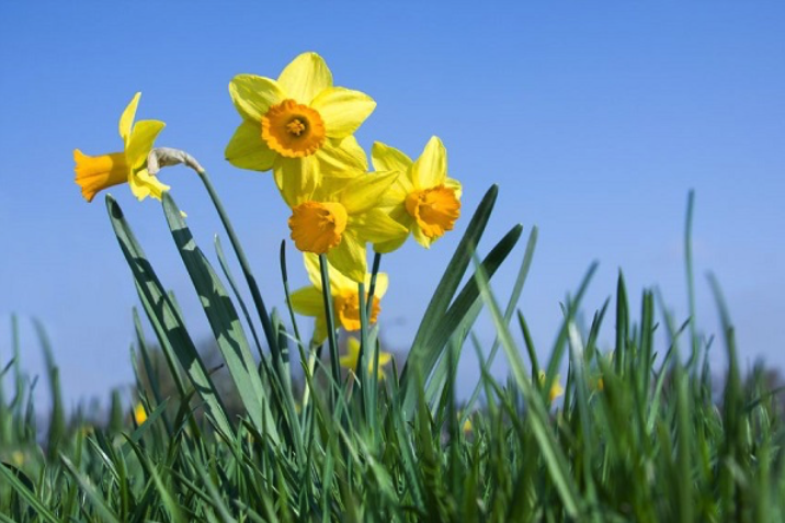 Modeling Buildings on Daffodil Stems Can Offer Protection from Wind Damage