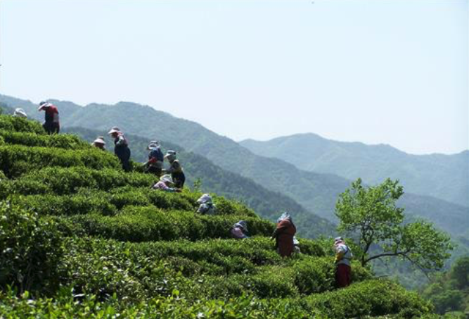 Hadong tea field.