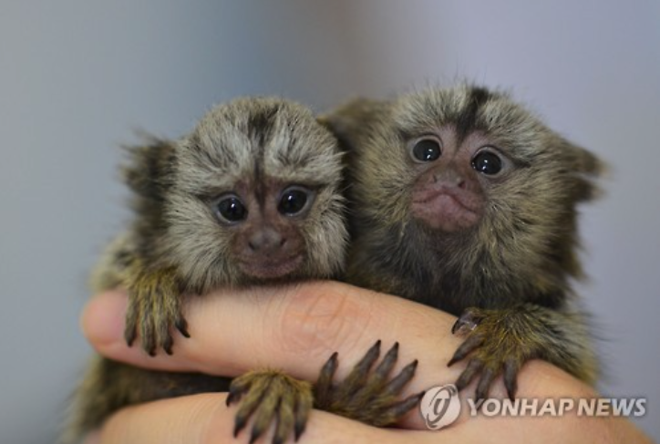 Native only to east-central Brazil, common marmosets are very small monkeys with relatively long tails.