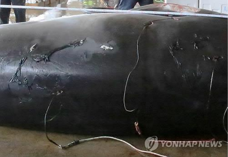 Korean poachers have been relentlessly pursuing minke whales, called the 'Lotto of Oceans' by fishermen, due to the stratospheric prices they often fetch. (Image Courtesy of Yonhap)