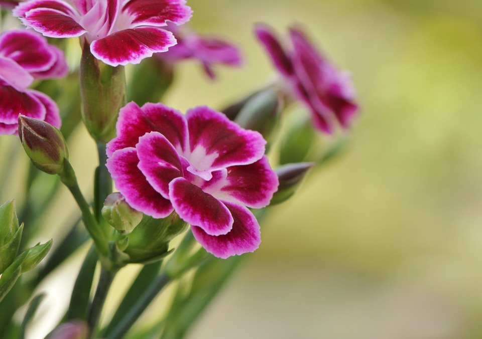 Carnation flowers are given to parents on Parents' Day. (image: Pixabay)