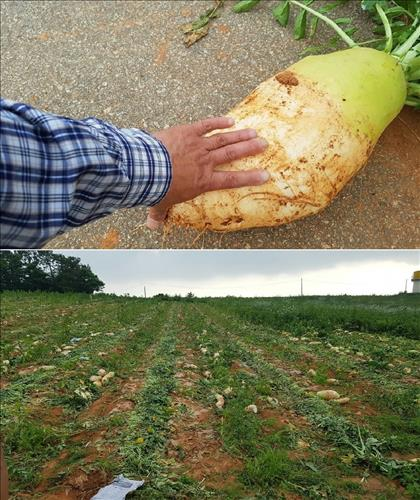 The radishes have grown so large that their value has decreased, which forced him to plow out 30 percent of his entire farm. (image: Yonhap)