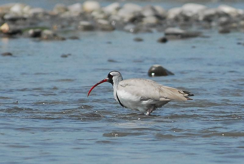 It's going to be a habitat for crested ibis, an endangered species of migratory bird that once flourished in Korea. (image: Wikimedia)
