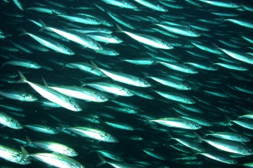 Mackerel Prices Drop after Government Labels Them as 'Pollutants'